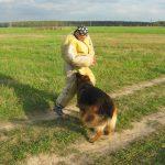 Немецкая овчарка атакует в бедро