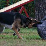 Овчарка борется с фигурантом