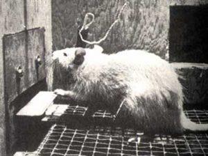 Крыса нажимает педальку в эксперименте Джеймса Олдса