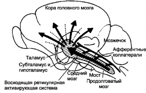 Восходящие активирующие влияния ретикулярной формации ствола мозга