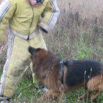 Немецкая овчарка атакует в пах