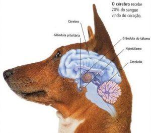 Строение мозга собаки