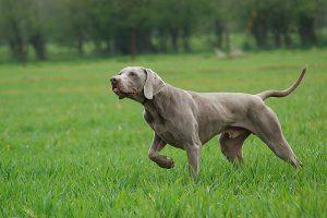 Поза как выражение установки собаки
