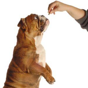 Поощрение собаки лакомством.