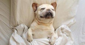 Собака решила вздремнуть в хозяйской кровати.