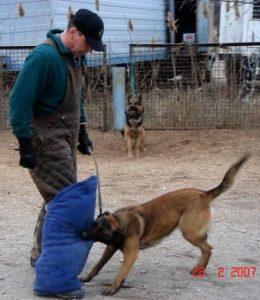 Собака держит ногавку или ножной рукав