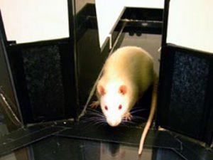 Крыса в лабиринте