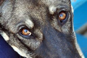 Взгляд собаки.