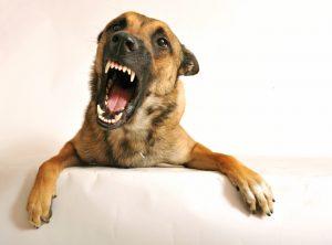 Агрессивная собака.