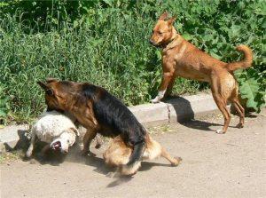 Собака разняла собачью драку.