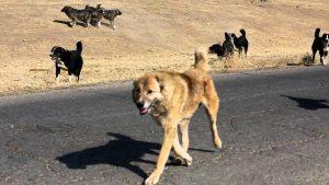 Лидер ведёт стаю собак.