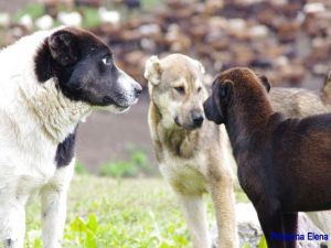 Собака-лидер  контролирует других собак.
