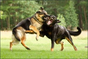 Собачья драка