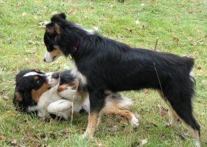 Собака доминирует над другой собакой