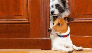 Лидирующая собака первой прошла в двери.