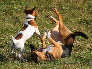 Собаки играют.