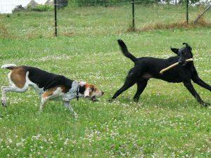 Собаки играют на выгуле.