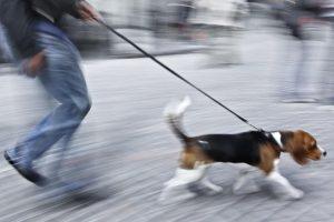 Собака тянет поводок на прогулке.