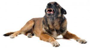 Собака демонстрирует угрожающее поведение.