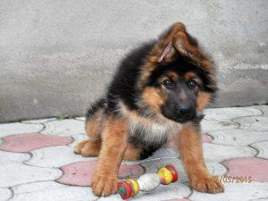 Собака охраняет игрушку от хозяина.