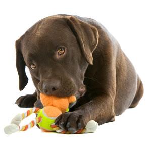 Собака возится с игрушкой.
