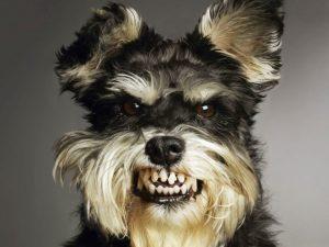 Оскаленная пасть собаки.