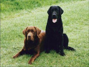 Сдружившиеся собаки.
