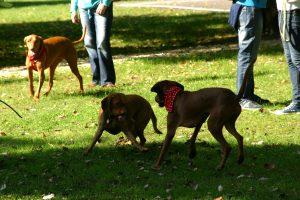 Собаки на общем выгуле.