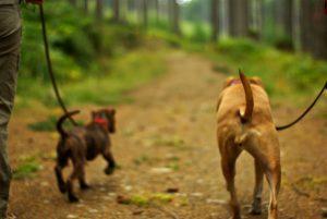 Совместная прогулка двух собак.