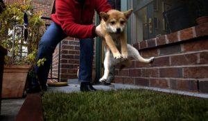 Приучение щенка ходить в туалет на улице.