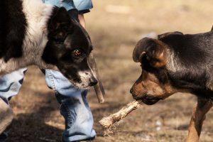 Собака угрожающе смотрит в глаза другой собаке.