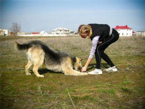 Хозяин дрессирует собаку самостоятельно.