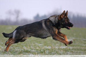 Бегущая немецкая овчарка.