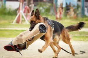 Собака бежит от фигуранта с рукавом.