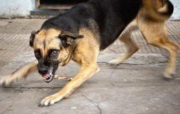 Трусливо-агрессивная собака.
