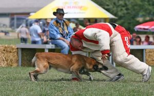 Атакующая собака схватывает движущегося фигуранта за ногу.