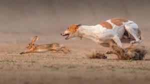 Борзая гонится за зайцем.