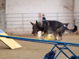 Собака преодолевает препятствие.
