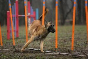 Собака проходит полосу препятствий.