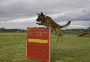 Собака прыгает через барьер.