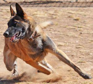 Собака в движении.