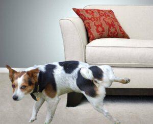 Собака ссыт на диван.